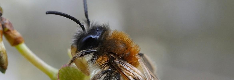 Mission Osmia, l'abeille sauvage !